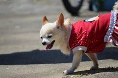 在红色礼服的奇瓦瓦狗 免版税库存照片