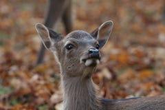 在红色秋叶背景的无所畏惧的小鹿 免版税库存图片