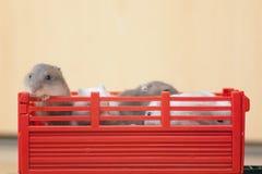 在红色箱子的小仓鼠 在玩具拖拉机的滑稽的小的仓鼠乘驾 在红色拖车的白色仓鼠 戏弄拖车 免版税库存图片