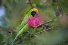 在红色粉扑树的金黄朝向的leafbird 免版税库存图片