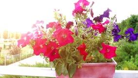 在红色罐的特写镜头美丽的五颜六色的花有摇摆在风的软的焦点的 落日的明亮的光芒 bossies 股票录像