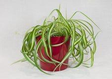 在红色罐的Chlorophytum 免版税图库摄影