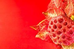 在红色背景的一品红 免版税图库摄影