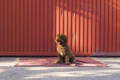 在红色背景的布朗西班牙水猎狗 户外p 免版税库存图片