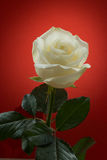 在红色背景的白色玫瑰 库存照片
