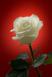 在红色背景的白色玫瑰 免版税库存图片