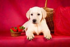 在红色背景的纯血统金毛猎犬狗 免版税库存照片