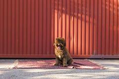 在红色背景的被隔绝的布朗西班牙水猎狗 户外p 免版税库存照片