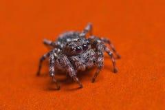 在红色背景的跳跃的蜘蛛 图库摄影
