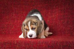 在红色背景的逗人喜爱和哀伤的小猎犬小狗 免版税图库摄影