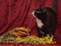 在红色背景的黑白猫 免版税库存照片