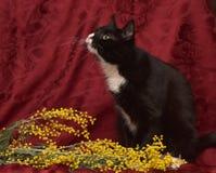 在红色背景的黑白猫 库存图片