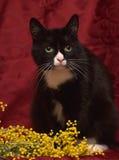 在红色背景的黑白猫 免版税库存图片