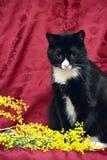 在红色背景的黑白猫 免版税图库摄影