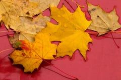 在红色背景的黄色槭树叶子 库存图片