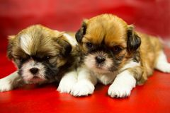 在红色背景的Shih慈济小狗 免版税库存图片