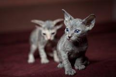 在红色背景的Sphynx小猫 库存图片