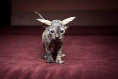 在红色背景的Sphynx小猫 库存照片