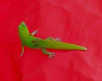 在红色背景2的绿色壁虎 库存照片