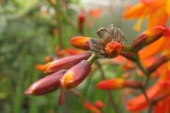 在红色花特写镜头的小蜘蛛 免版税库存图片
