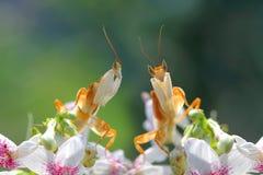 在红色花的美丽的兰花螳螂 免版税库存照片