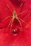 在红色花的草蜘蛛 免版税库存图片