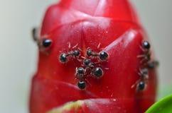 在红色花的蚂蚁 免版税库存图片