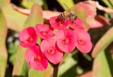 在红色花的蜂 免版税库存图片