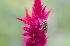 在红色花的蜂 库存照片