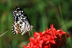 在红色花的蝴蝶在北部泰国 免版税库存图片