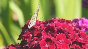 在红色花的蝴蝶aporia Crataegi 股票视频