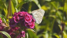 在红色花的蝴蝶aporia Crataegi 股票录像