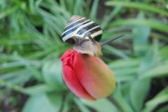 在红色花的黄色黑蜗牛 花室外红色春天郁金香 与垫铁的蜗牛 库存照片
