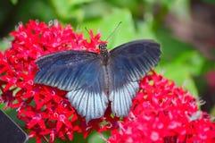 在红色花的黑蝴蝶 免版税库存照片