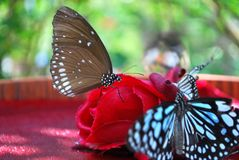 在红色花的蝴蝶 免版税图库摄影