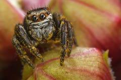 在红色芽的跳跃的蜘蛛 库存图片