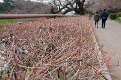 在红色芽的选择聚焦开花与在relati的走的夫妇 免版税库存照片