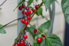 在红色莓果的雨下落 免版税库存图片