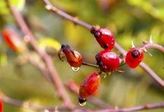 在红色莓果的水晶球 库存照片