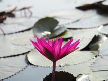 在红色莲花开花旁边的特写镜头 免版税库存照片