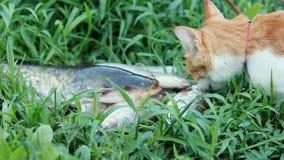 在红色衣领的滑稽的美丽的惊人的逗人喜爱的红色白色猫吃鲜鱼的在室外,晴朗的夏天早晨好 股票录像