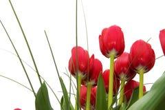 在红色郁金香之下 免版税库存图片
