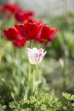 在红色郁金香的白色郁金香 库存照片
