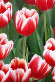 在红色郁金香的水下落 库存图片