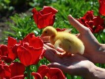 在红色郁金香的黄色鸭子 库存照片