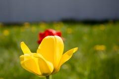 在红色郁金香的黄色 免版税图库摄影
