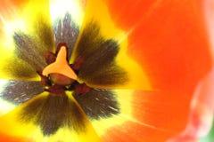 在红色郁金香里面的花 图库摄影