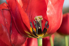 在红色郁金香里面的花 库存照片