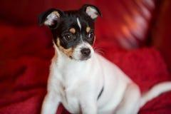 在红色长沙发的小狗 免版税库存照片