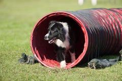 在红色隧道的博德牧羊犬在敏捷性竞争 免版税图库摄影